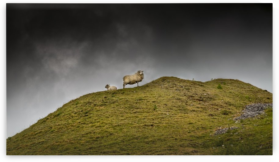 Sheep on a hill top by Leighton Collins