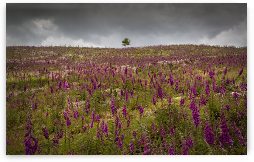 A field of Foxgloves on the Brecon Beacons by Leighton Collins