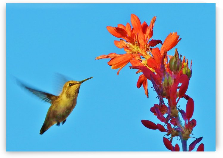 Hummingbird Flight by Sheri Schwan