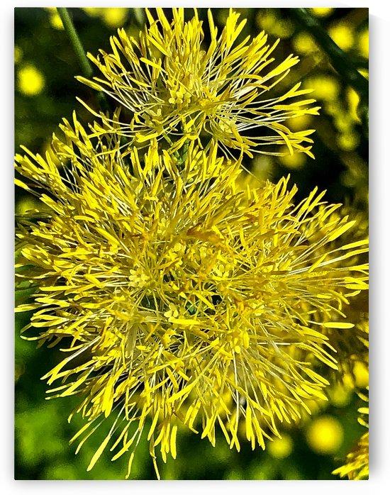 Mellow Yellow by BotanicalArt ca