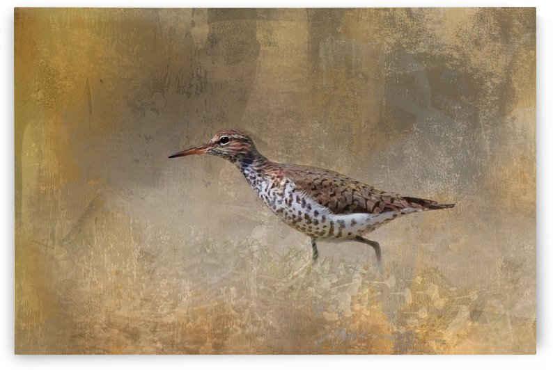 Textured Spotted Sandpiper by HH Photography of Florida