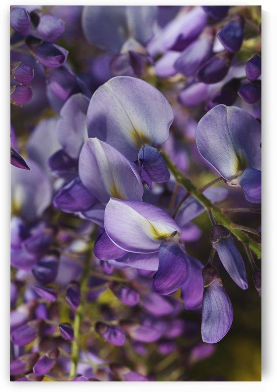 Wisteria Flowers Dream by Joy Watson