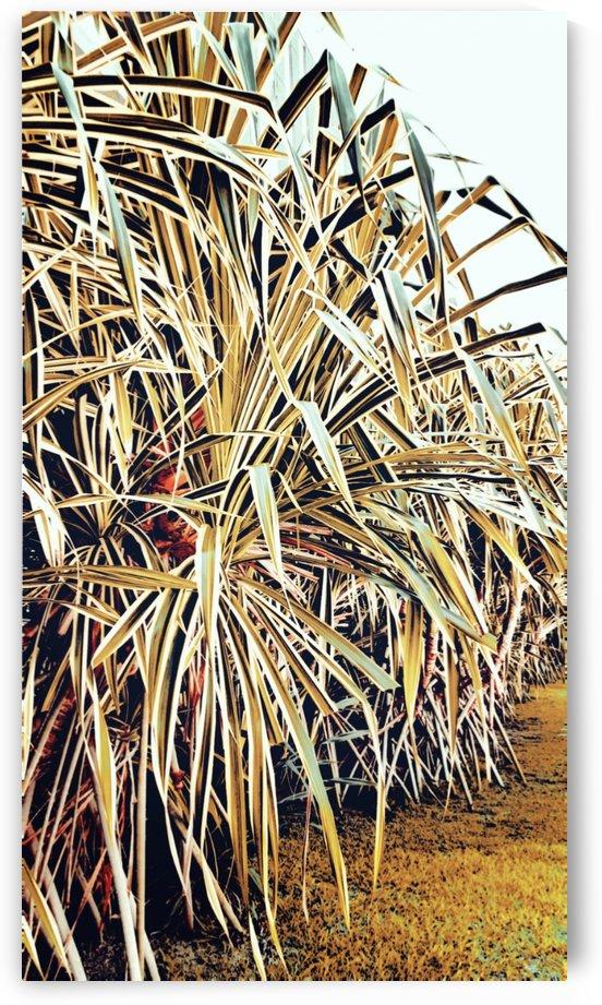 Giant grass by jgarcia