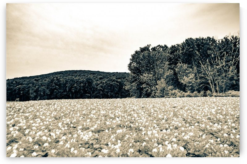 Flower Country Field by David Pinter