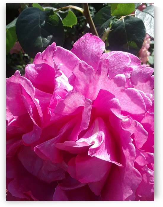 Fuschia Rose in Brentwood Gardense brentwood by CanvasBloom