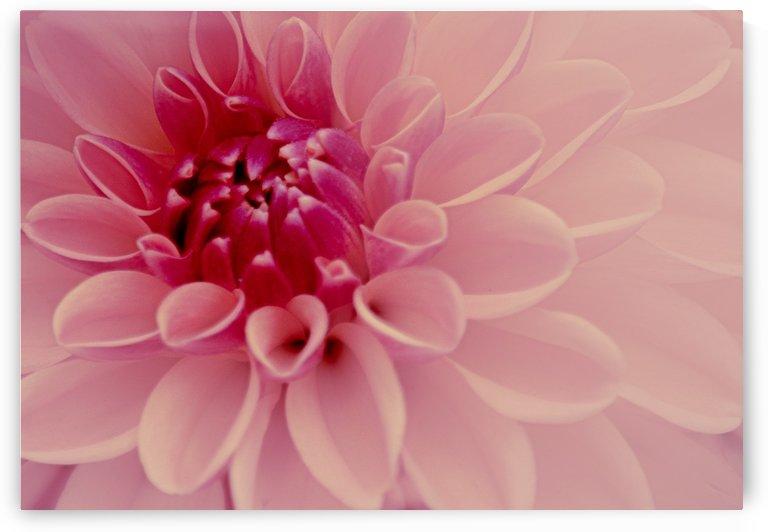 Pale Pink Dahlia by Joan Han
