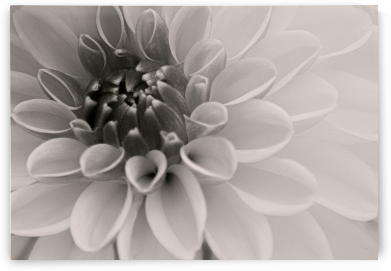 Dahlia III Black and White by Joan Han