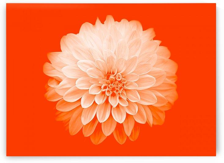 Dahlia on Orange by Joan Han