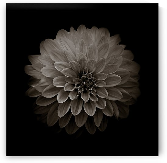 Dahlia Sepia Square by Joan Han