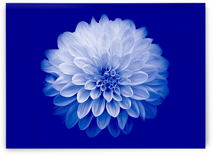 Dahlia on Blue by Joan Han