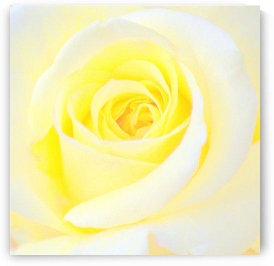 Pale Yellow Rose  by Joan Han