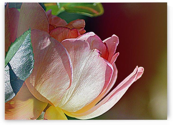 Pink Rose I by Joan Han