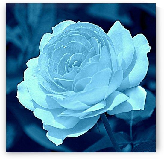 Rose Aqua Blue by Joan Han