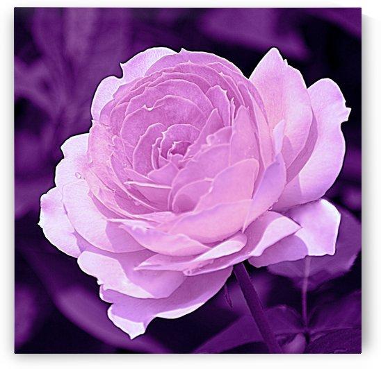 Rose Purple by Joan Han