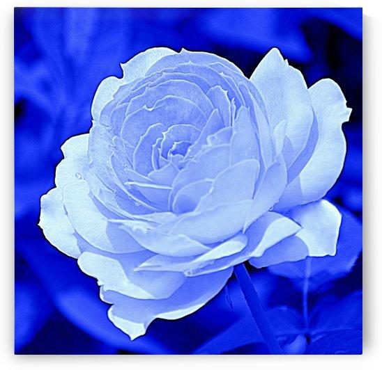 Rose Blue  by Joan Han