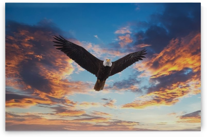 Bald Eagle Looking at Sunset by Darryl Brooks