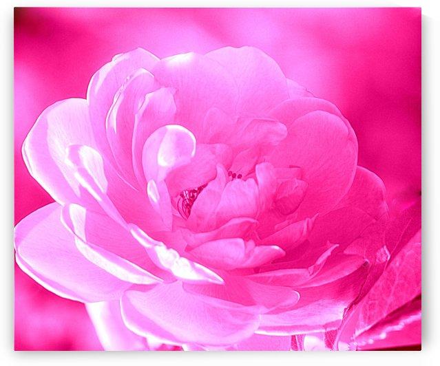 Rose I Pink  by Joan Han