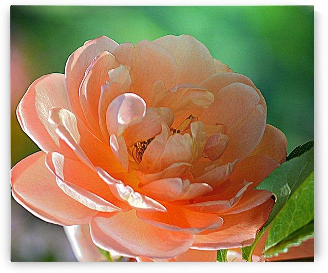 Peach Rose by Joan Han