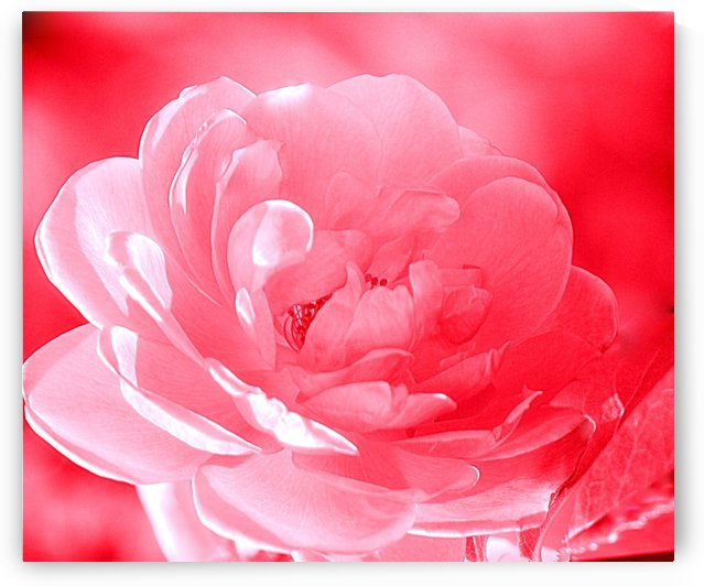 Rose I Red by Joan Han
