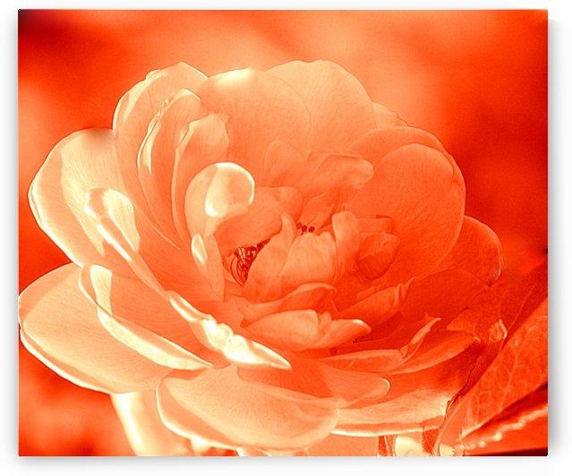 Rose I Orange by Joan Han