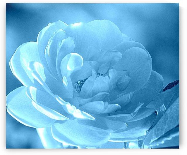 Rose I Aqua Blue by Joan Han