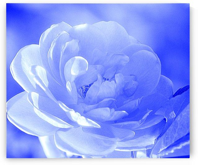 Rose I Blue by Joan Han