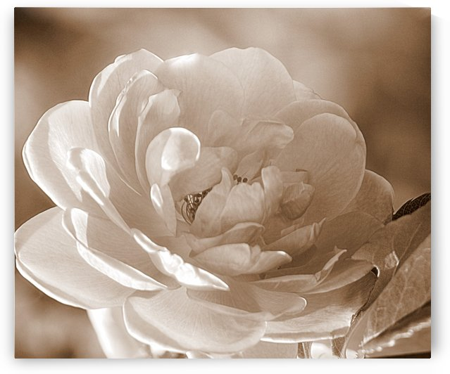 Rose I Sepia by Joan Han