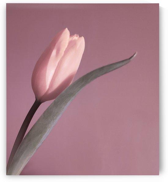 Pale Pink Tulip by Joan Han
