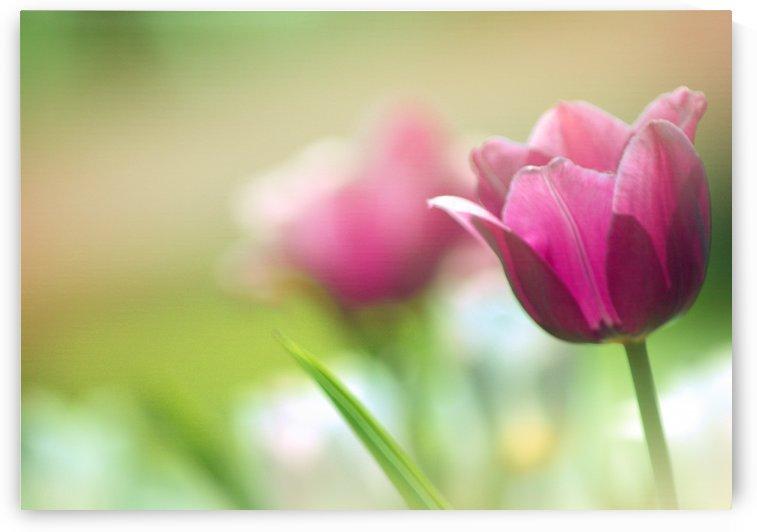 Purple Tulips by Joan Han