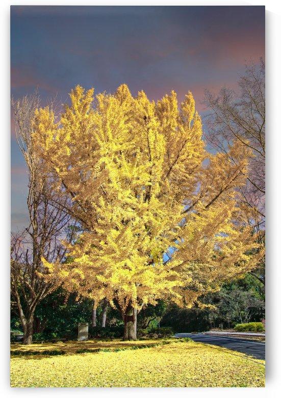 Golden Linden Tree Under Autumn Sky by Darryl Brooks