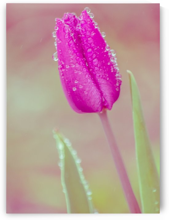 Pink Tulip I by Joan Han