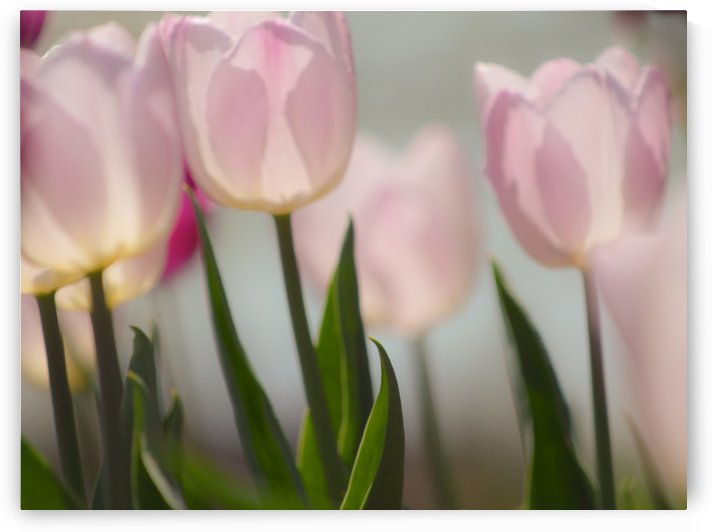 Pale Pink Tulips I by Joan Han