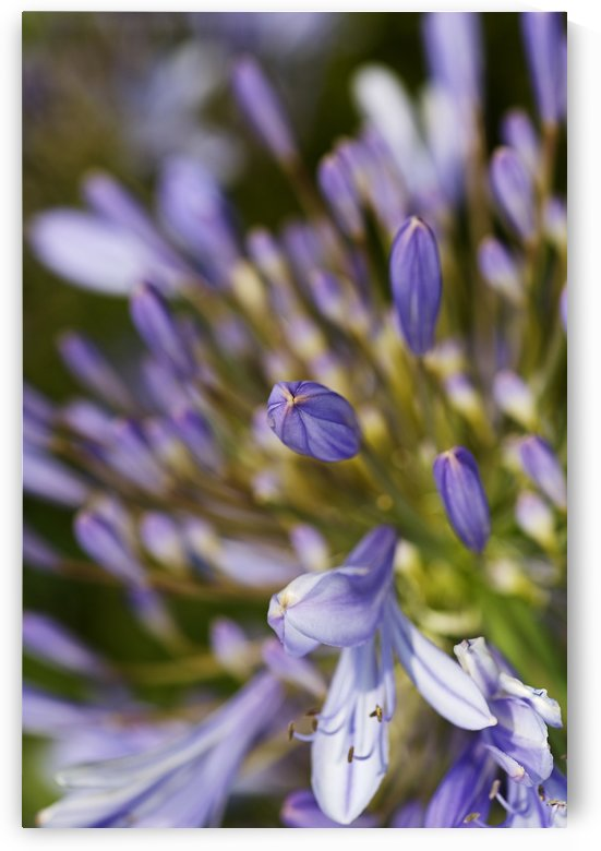 Agapanthus Bud To Flower by Joy Watson
