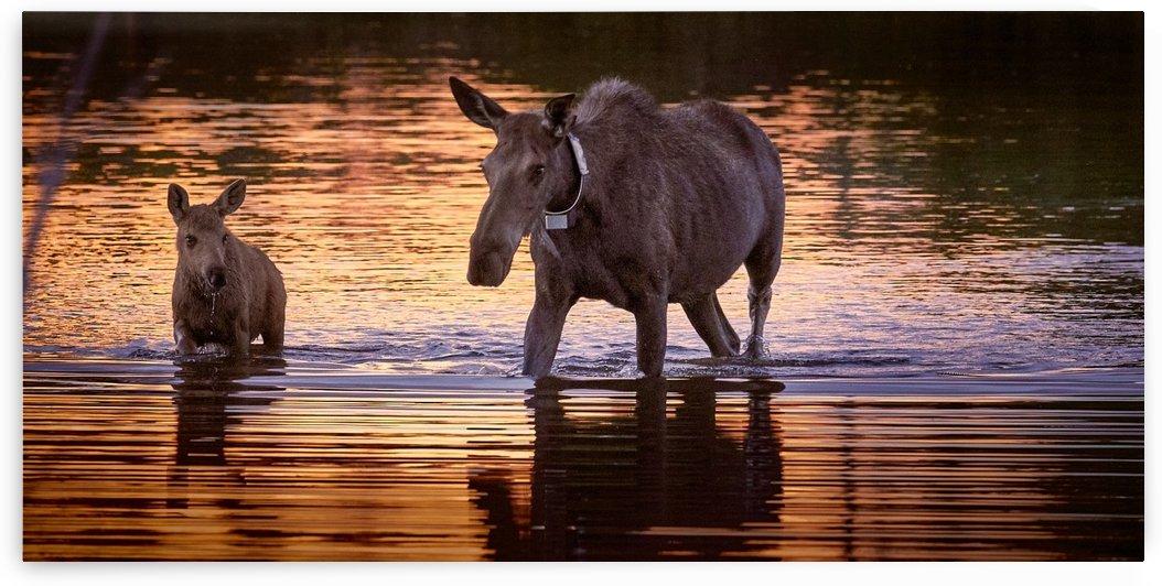 Mama & Baby Moose by BJMRamage