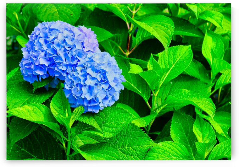 Blue Hydrangea Blooms on Wet Green Leaves by Darryl Brooks