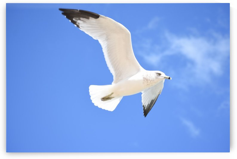 Seagull Overhead by Cameraman Klein