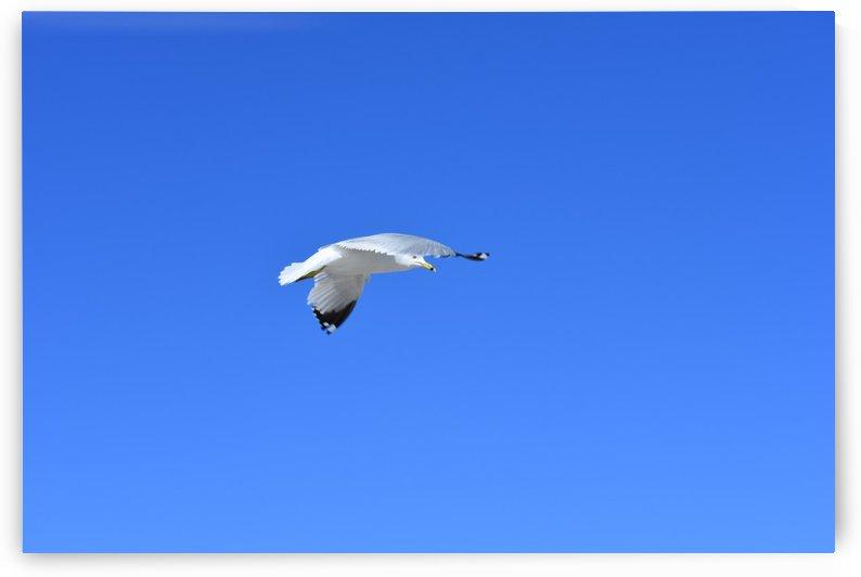 Gliding Seagull by Cameraman Klein