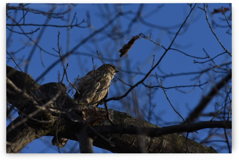 Peregrine Falcon Hunting by Cameraman Klein