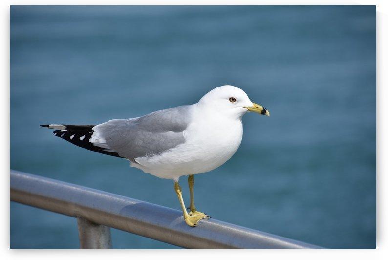 Seagull on a Rail by Cameraman Klein