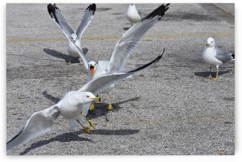 Fighting Seagulls by Cameraman Klein