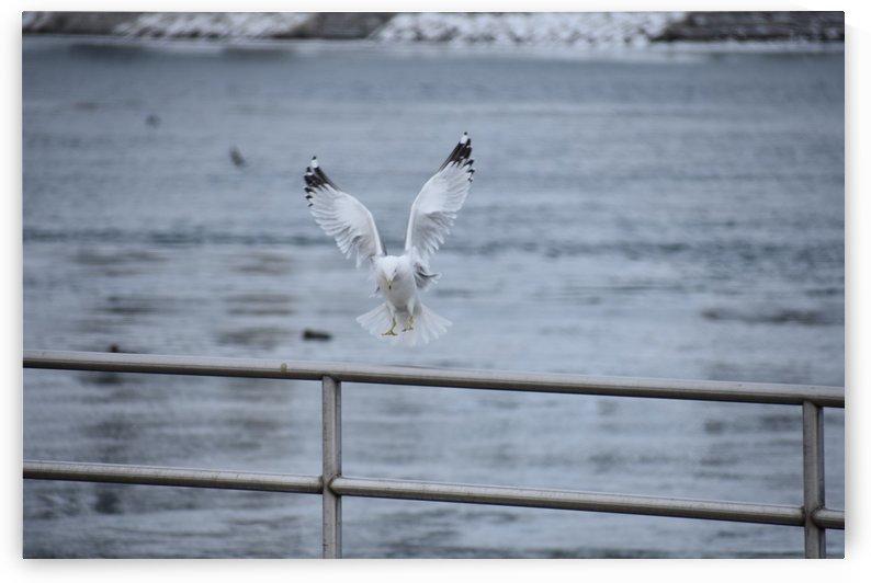 Seagull Landing on a Rail by Cameraman Klein