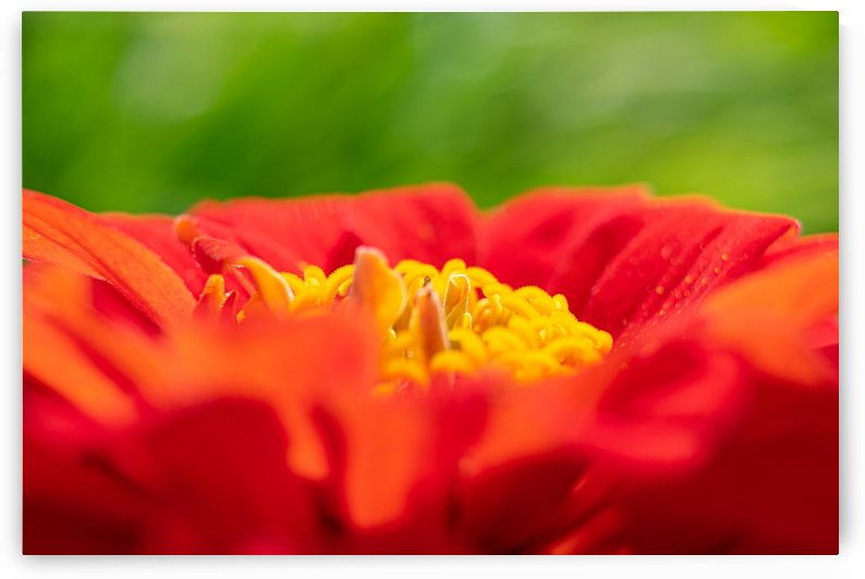 Red Flower by Cameraman Klein