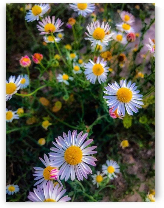 Daisies in Brackettville TX  by Shay Morrow