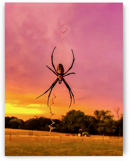 Banana Spider in Cat Spring TX by Shay Morrow