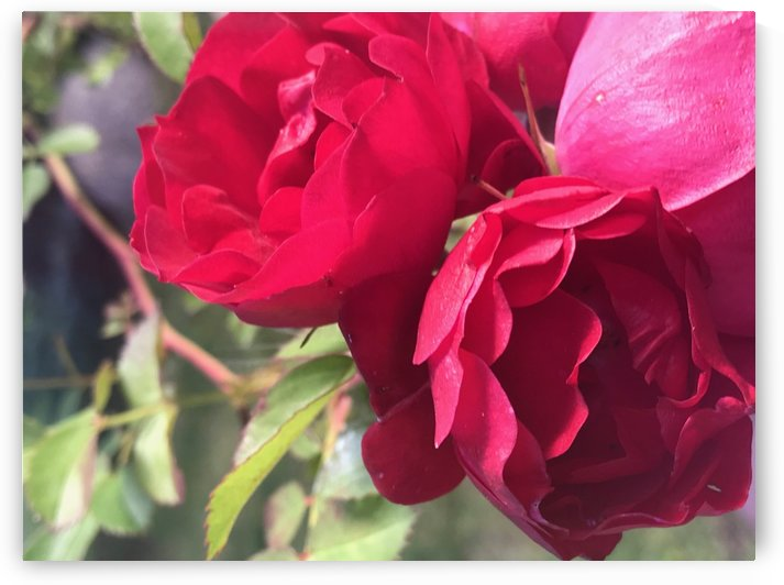 Red Roses by Shay Morrow