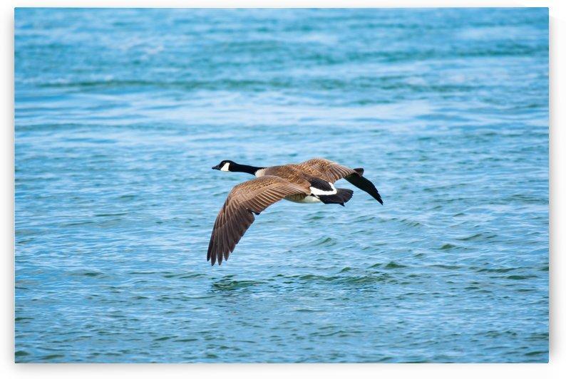 Gliding Geese by Cameraman Klein