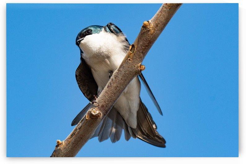 Tree Swallow by Cameraman Klein