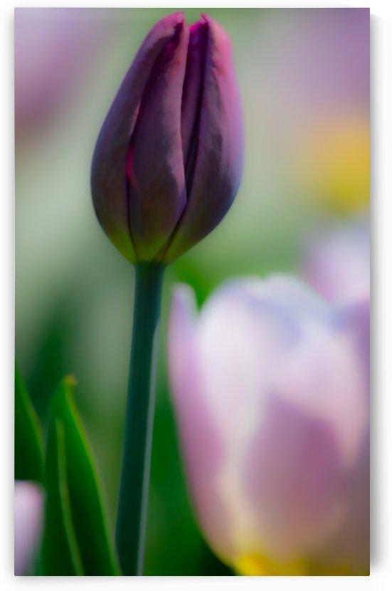 Purple Tulip Bud by Joan Han