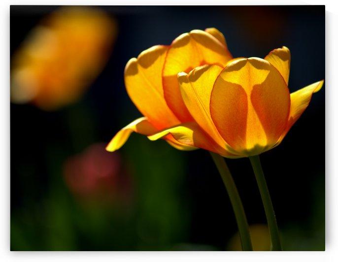Yellow Tulips Twin by Joan Han