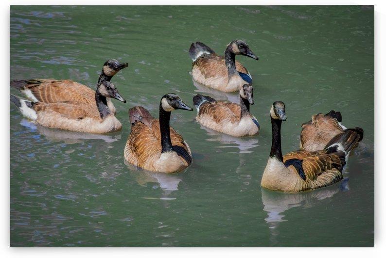 Canadian Geese in a pond by Phoenix Wilbur